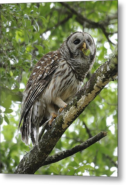 Barred Owl With A Snack Metal Print by Keith Lovejoy