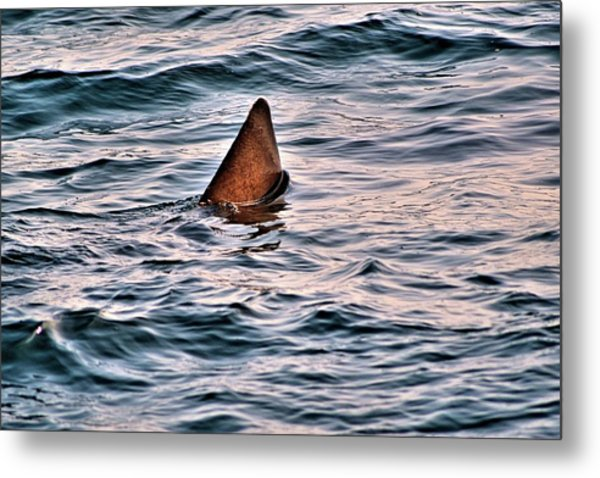 Basking Shark In July Metal Print
