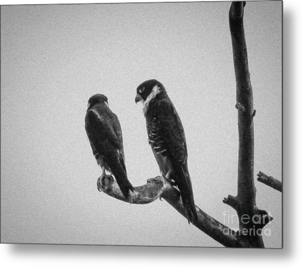 Bat Falcon In Black And White Metal Print