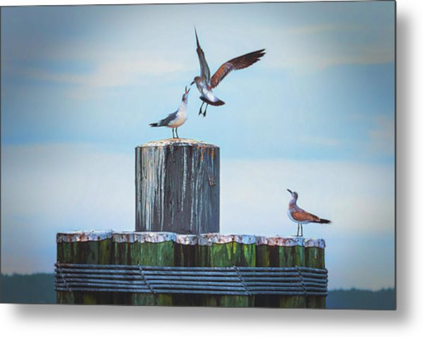Battle Of The Gulls Metal Print