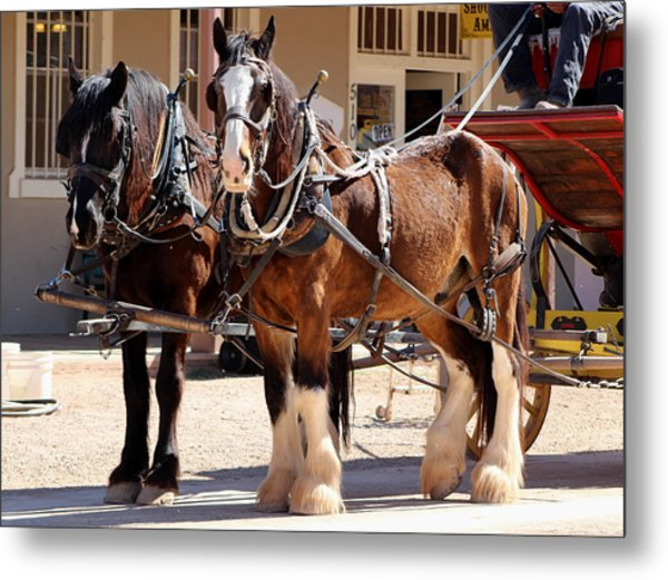 Bay Colored Clydesdale Horses Metal Print