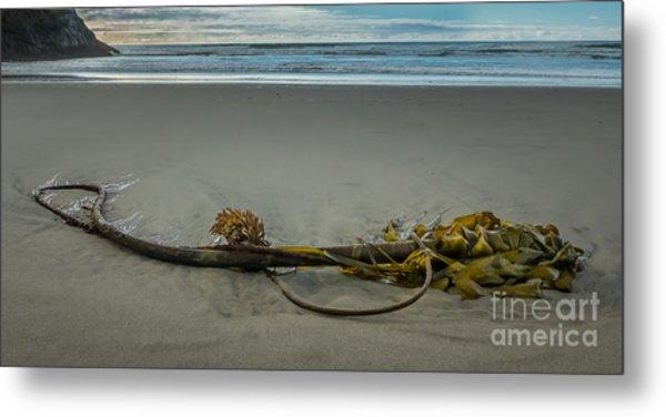 Beach Bull Kelp Laying Solo Metal Print