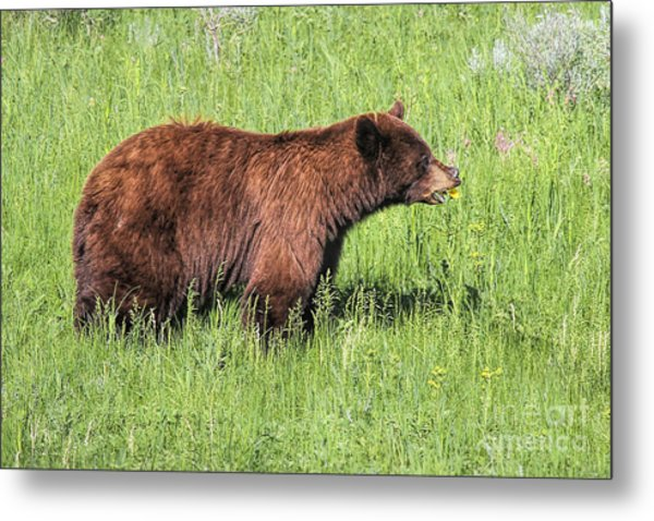 Metal Print featuring the photograph Bear Eating Daisies by Jemmy Archer