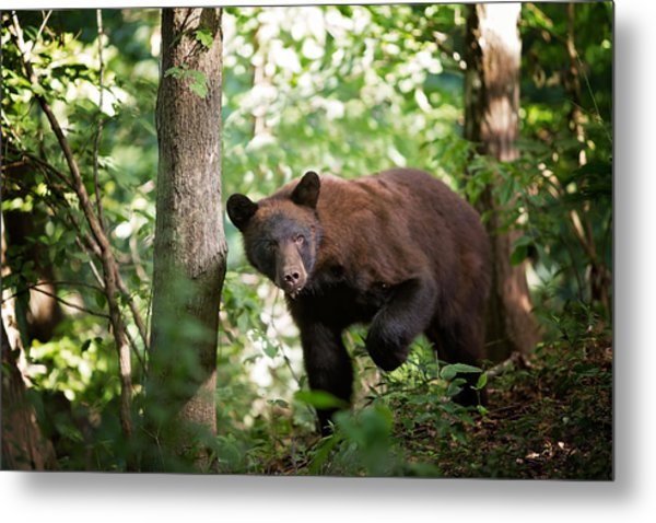 Bear In The Woods Metal Print