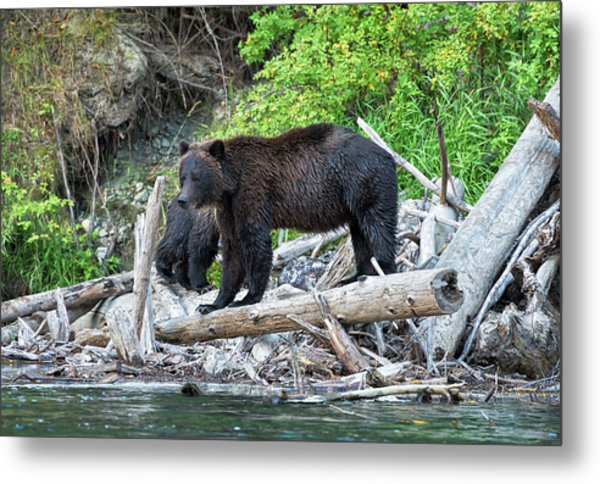 In The Great Bear Rainforest Metal Print