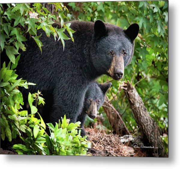Bear Mom And Cub 9539 Metal Print by Dan Beauvais