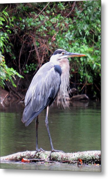 Bearded Blue Heron Metal Print