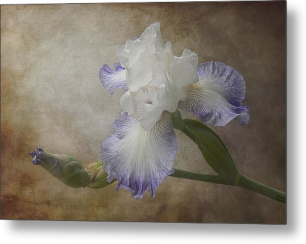 Metal Print featuring the photograph Bearded Iris 'gnuz Spread' by Patti Deters