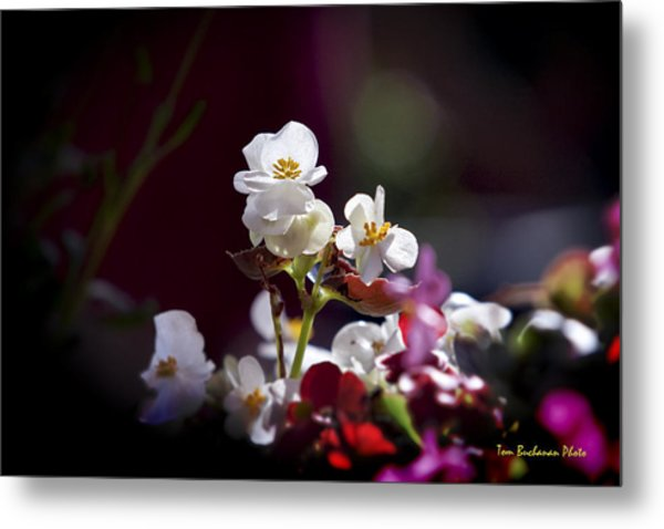 Beautiful Begonia Metal Print