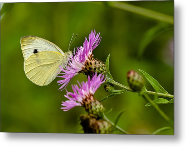Beautiful Butterfly On Pink Thistle Metal Print