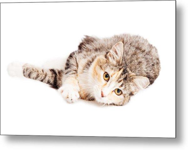 Beautiful Calico Kitty Laying Looking Forward Metal Print
