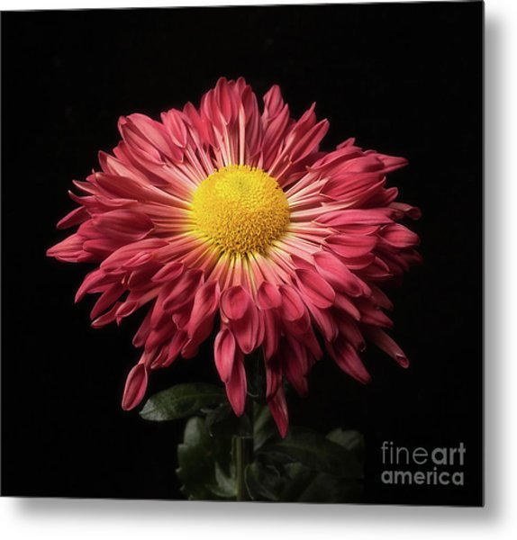 Beautiful Chrysanthemum Metal Print