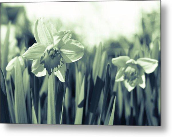 Beautiful Daffodil Metal Print