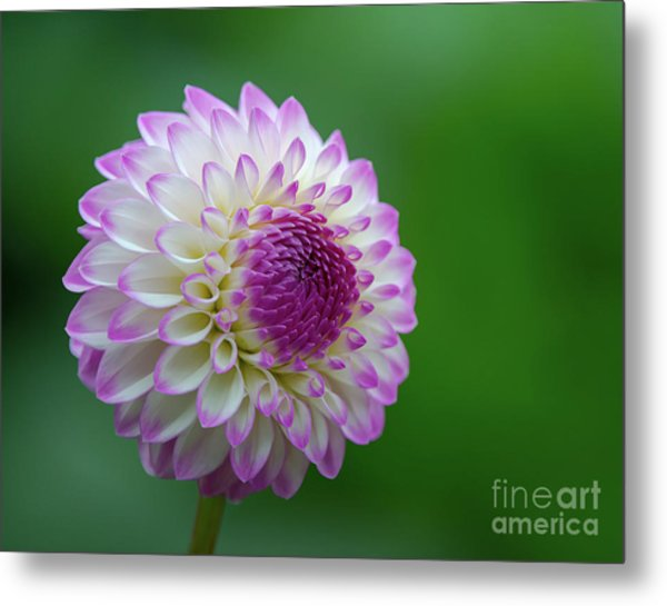 Beautiful Dahlia 1 Metal Print