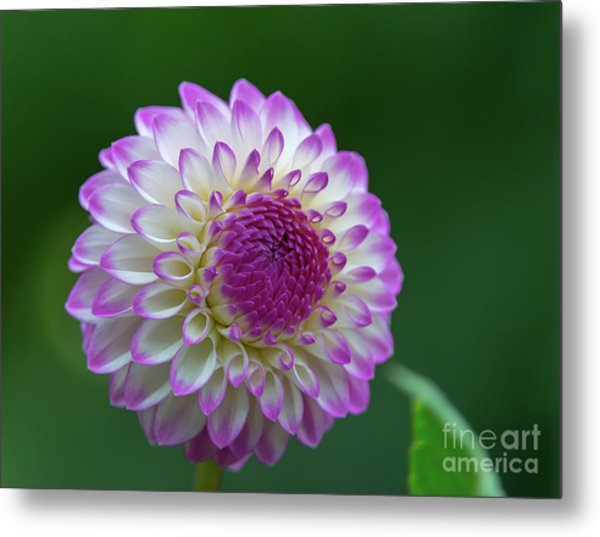 Beautiful Dahlia 2 Metal Print