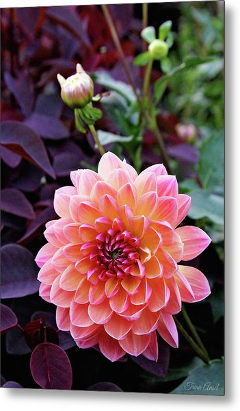 Beautiful Dahlia Metal Print