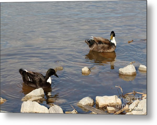 Beautiful Ducks Metal Print