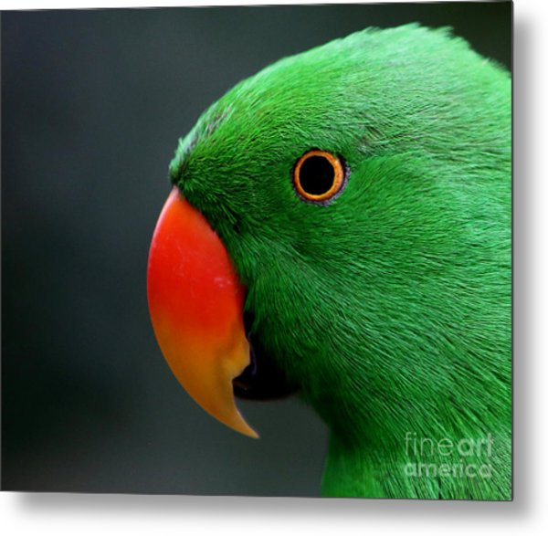 Beautiful Eclectus Parrot Metal Print