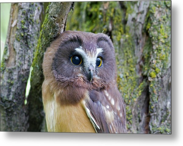 Beautiful Eyes Of A Saw-whet Owl Chick Metal Print