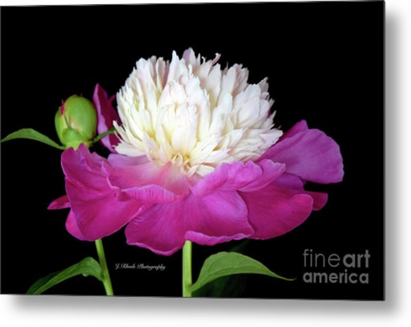 Beautiful Fancy Peony Metal Print