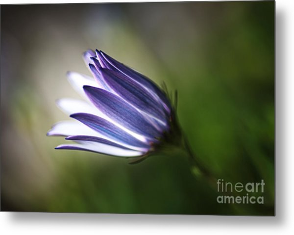 Beautiful Inner Glow Of The Daisy Metal Print