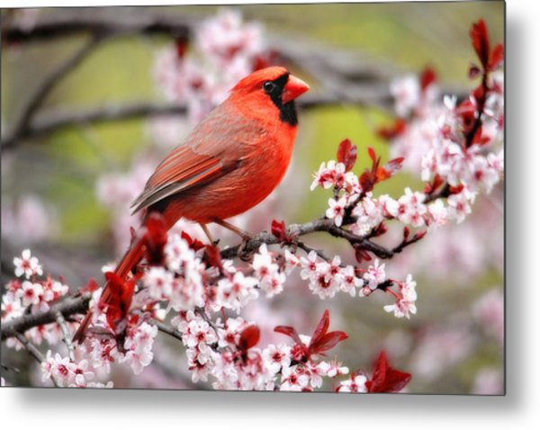 Beautiful Northern Cardinal Metal Print