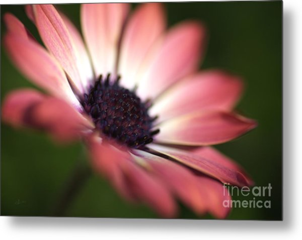 Beautiful Rich African Daisy Zion Red Flower Metal Print