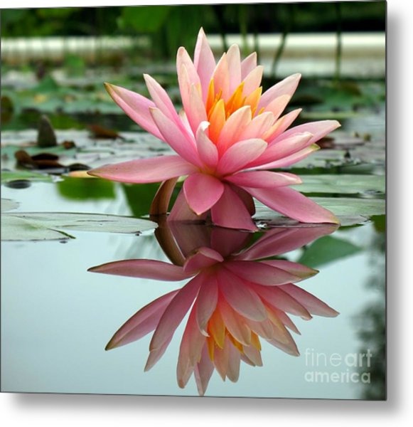Beautiful Water Lily In A Pond Metal Print