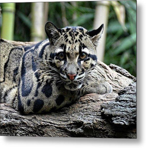 Clouded Leopard Beauty Metal Print