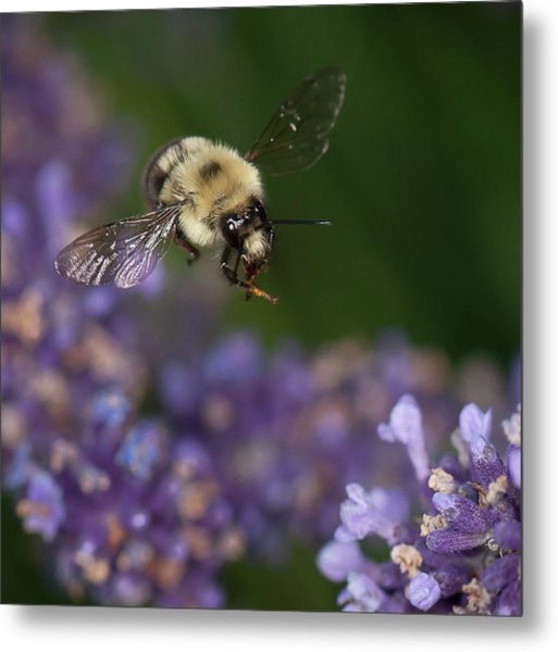 Bee Approaches Lavender Metal Print