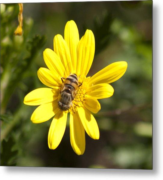 Bee Feeding Metal Print