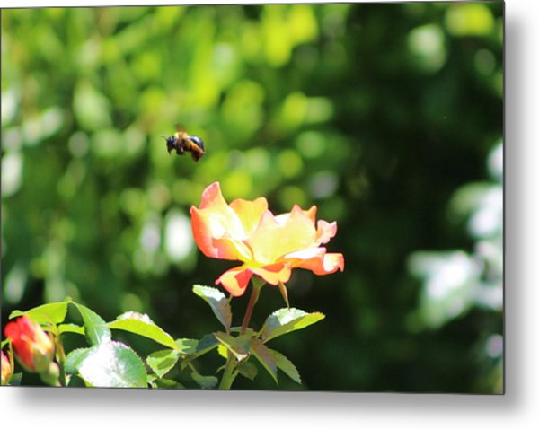 Bee Flying From Peach Petal Rose Metal Print