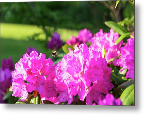 Bee Flying Over Catawba Rhododendron Metal Print