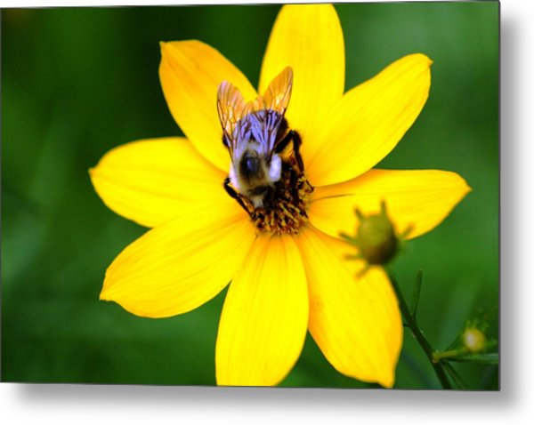 Bee In The Flower  Metal Print by Paul SEQUENCE Ferguson             sequence dot net