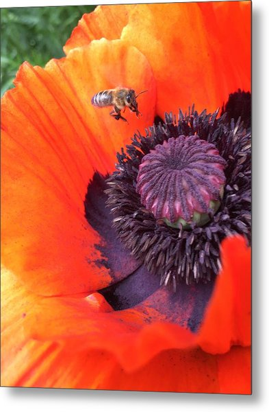 Bee Is Visiting A Poppy Metal Print