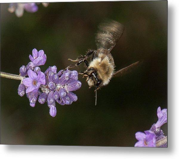 Bee Landing On Lavender Metal Print