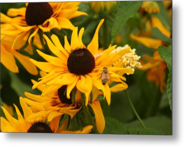 Bee On Daisy Metal Print by Eric Irion