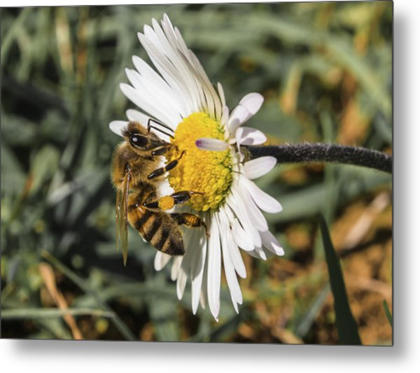Bee On Flower Daisy Metal Print