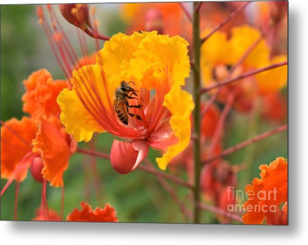 Bee Pollinating Bird Of Paradise Metal Print