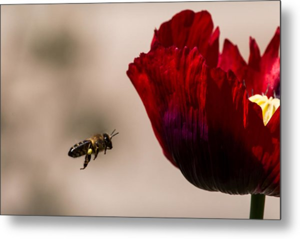 Bee Right Profile Flying To Red Flower Metal Print