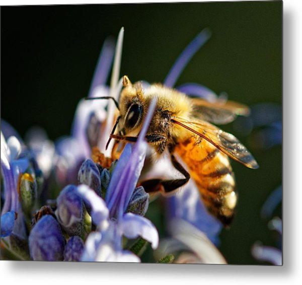 Bee Visits Rosemary  Metal Print