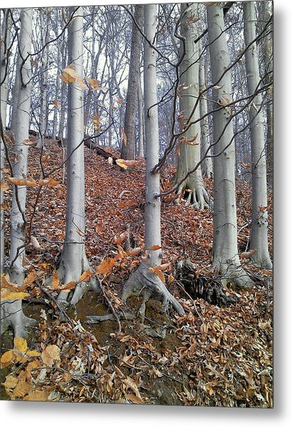 Beech Trees Metal Print