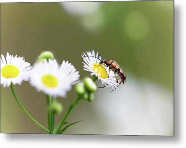 Beetle Daisy Metal Print
