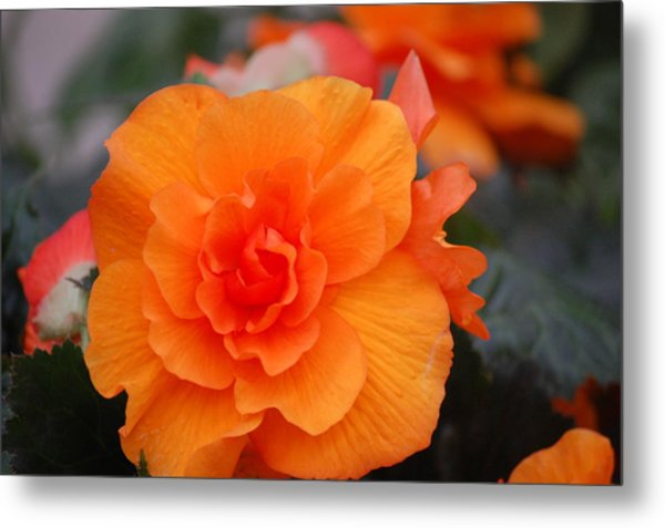 Begonia Sunrise Metal Print