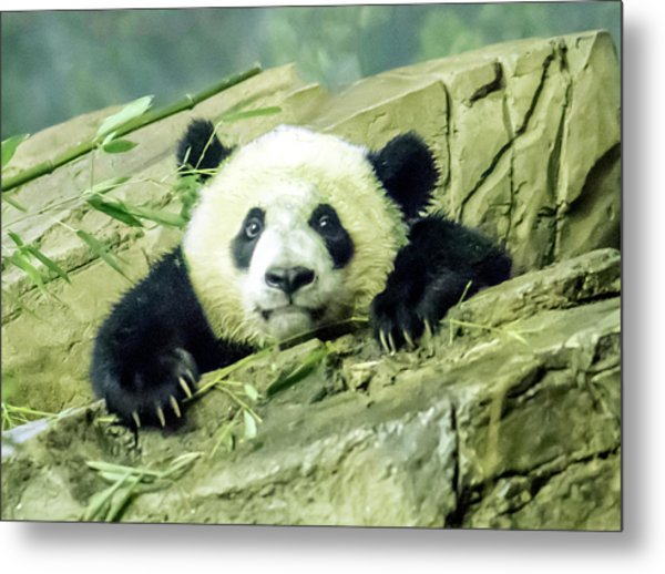 Bei Bei Panda At One Year Old Metal Print