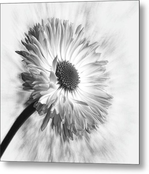 Bellis In Mono  #flower #flowers Metal Print