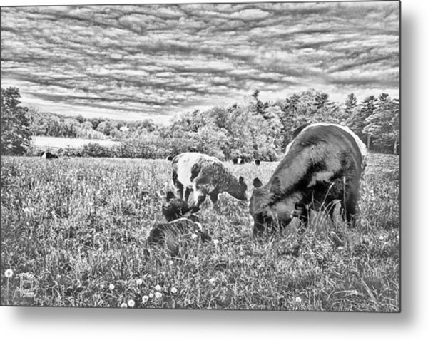 Belted Galloway Beef Cattle Metal Print