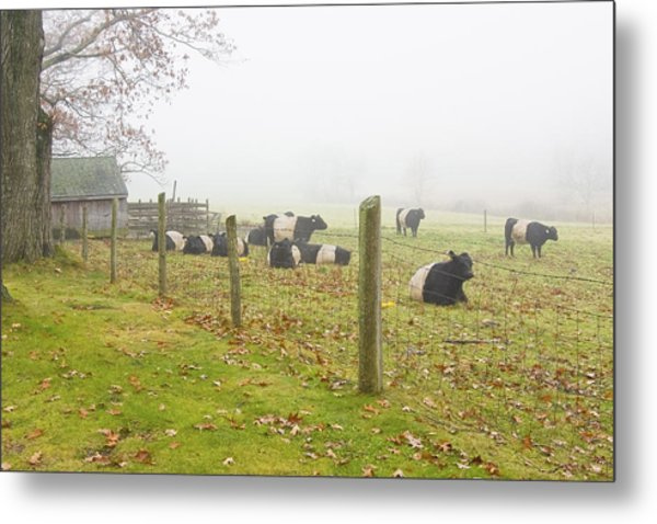 Belted Galloway Cows Farm Rockport Maine Photograph Metal Print