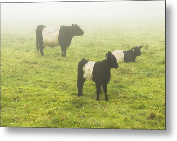Belted Galloway Cows Grazing  In Foggy Farm Field Maine Metal Print