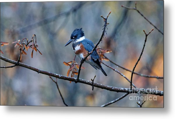 Belted Kingfisher Perch Metal Print